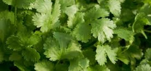 How to store Cilantro leaves